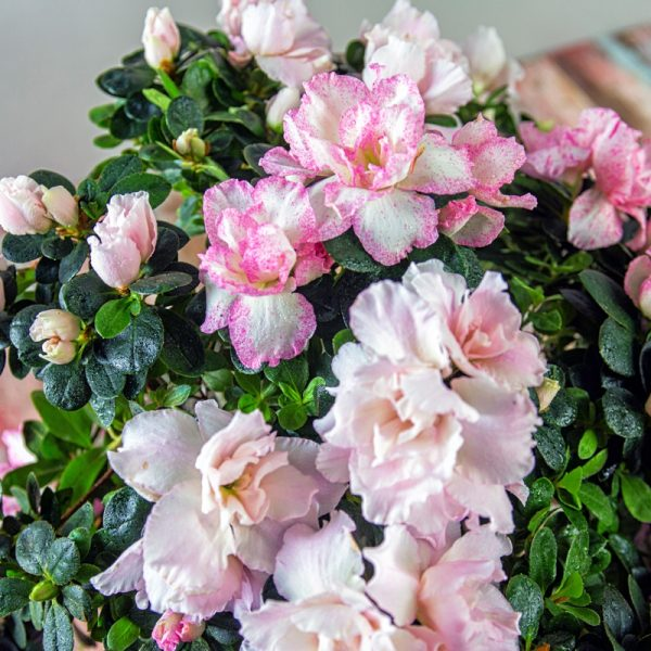 Close up of pink and white azalea blooms in a rustic bark basket.