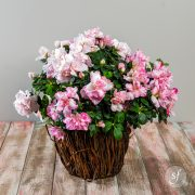 Pink and white azalea blooms in a rustic bark basket.