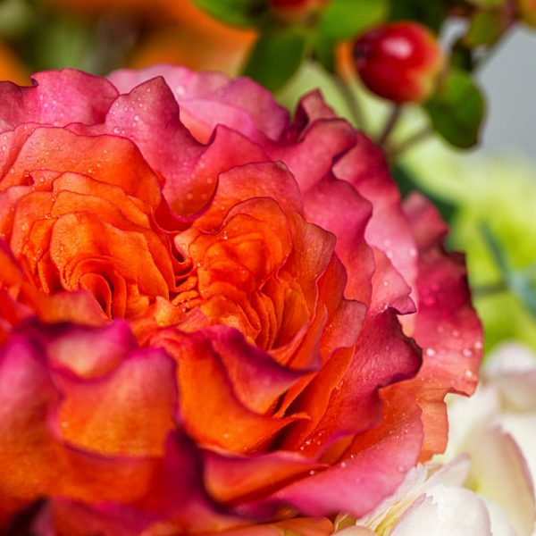 Close up of variegated double petaled rose in vibrant summer arrangement.