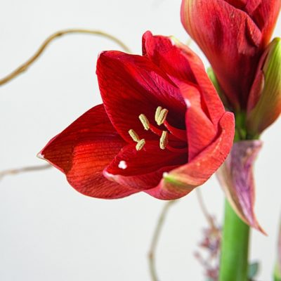 Close up of an amaryllis bloom in a tropical Christmas arrangement by Steve's Floral in Manhattan, KS.