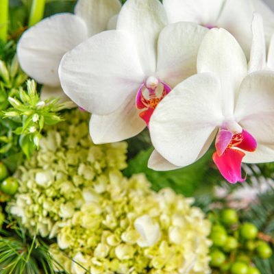 Close up of snow white orchids and light green hydrangea in a festive Christmas arrangement featuring pine branches, calla lilies, white orchids, and hydrangea in a shiny, modern wide-bottom vase.