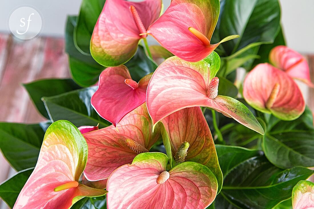 Tropical Anthurium Best Sellers Tropical Plants Blooming