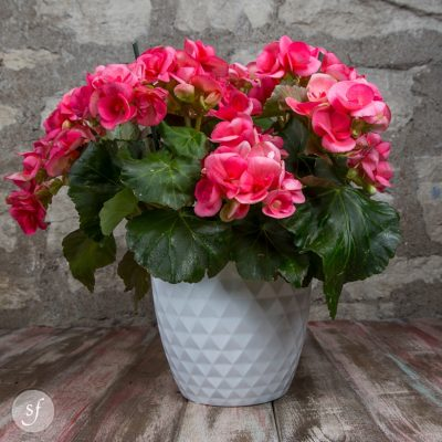 Potted Pink Begonia