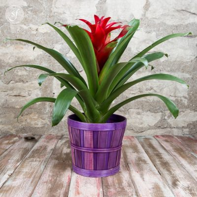 Crimson bromeliad in thatched purple base