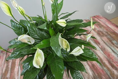 Peace Lilies in pot