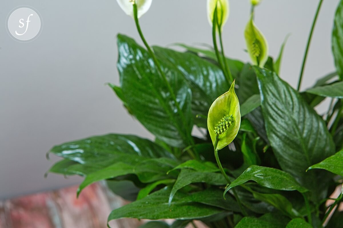 Peace Lily Gift Ideas For Under 60 Plants Blooming Sympathy